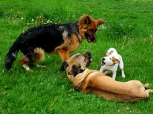 chien berger allemand, cane corso et jack russel