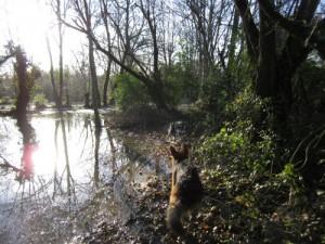 chien berger allemand jouant avec petite chienne croisé dans l'eau des prairies saint martin à Rennes