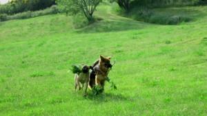 chien berger allemand et chien cane corso courant dans l'herbe avec une branche de cerisier