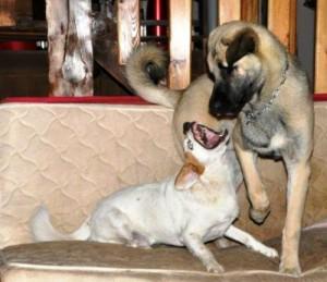 chien jack russel et chien berger d'anatolie kangal