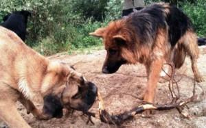 Chien Berger allemand et chien cane corso jouant avec un baton dans le sable, AU POIL DANS MES PATTES! Educateur canin comportementaliste sur Rennes et alentours