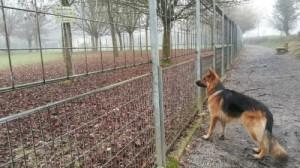 chien berger allemand, Au Poil Dans Mes Pattes! éducateur canin comportementaliste Rennes