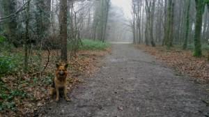 Chien berger allemand dans l'Aire de liberté canine du parc des Gayeulles à Rennes, Au Poil Dans Mes Pattes!