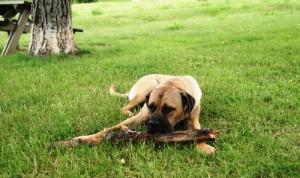 le besoin d'activité, cane corso s'ennuyant avec un baton, AU POIL DANS MES PATTES !