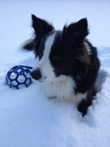 border collie dans la neige, biologie et activité, AU POIL DANS MES PATTES!