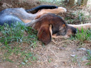Chien dormant dans un trou, AU POIL DANS MES PATTES! Educateur canin comportementaliste 35