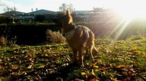 Chien Berger Allemand, Rennes, AU POIL DANS MES PATTES! Educateur canin comportementaliste 35