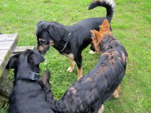 Rencontre entre chiens. Au poil dans mes pattes! educateur canin comportementaliste 35