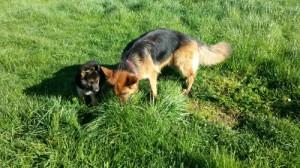 La socialisation du chiot, Au poil dans mes pattes! Educateur canin comportementaliste Rennes et Ile et Vilaine 35