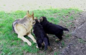 La socialisation du chiot, AU POIL DANS MES PATTES! éducateur canin comportementaliste 35