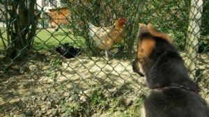 La socialisation du chiot aux autres animaux, Au poil dans mes pattes! Comportementaliste et éducateur canin Rennes 35