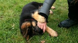 L'éducation du chiot: L'apprentissage de la morsure inhibée, Au poil dans mes pattes! Comportementaliste et éducateur canin sur Rennes et 35