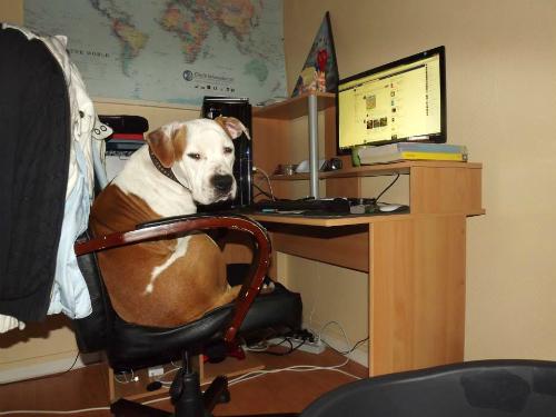 L'Amstaff, Au poil dans mes pattes! Comportementaliste et éducateur canin sur Rennes et Ille et Vilaine 35, Bretagne