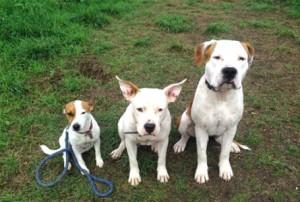Le Jack Russel Terrier, Au poil dans mes pattes! Comportementaliste et éducateur canin sur Rennes et Ille et Vilaine 35