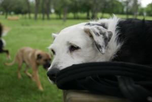 La souffrance chez le chien, Au poil dans mes pattes! Comportementaliste et éducateur canin 35 Rennes