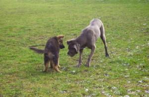 Petit chien et grand chien, AU POIL DANS MES PATTES! Comportementaliste éducateur canin sur Rennes et Ille et Vilaine 35