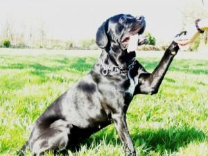 Le Cane Corso, AU POIL DANS MES PATTES! comportementaliste éducateur canin sur Rennes, ille et Vilaine, 35. Bruz, Noyal Chatillon sur Seiche, Pléan le grand, Redon, Maure de Bretagne, Pipriac....
