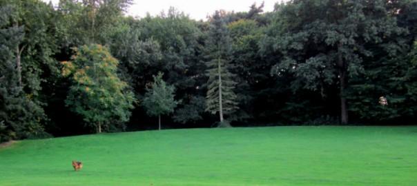chien berger allemand courant dans l'herbe du parc de Bréquigny à Rennes