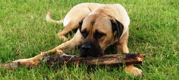 chien cane corso allongé dans l'herbe avec un baton