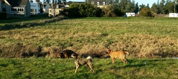 chiens promenade prairies saint martin (rennes)