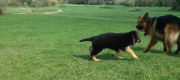 Socialisation du chiot AU POIL DANS MES PATTES! éducateur canin comportementaliste 35
