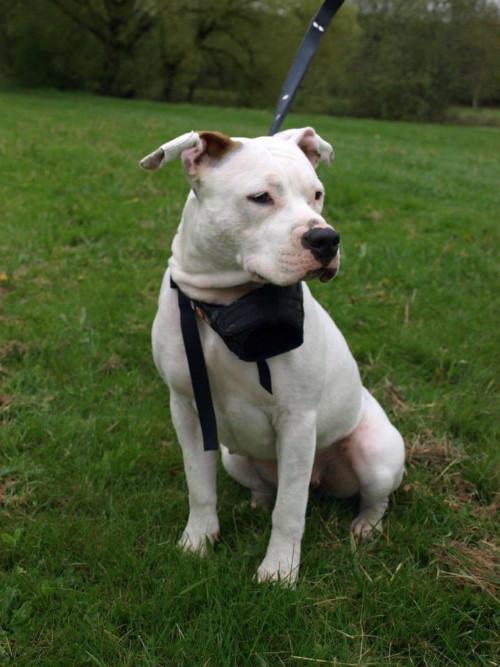 AMSTAFF 1 - Comportementaliste et éducateur canin à Rennes