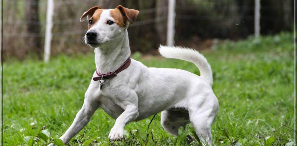 Jack Russel Terrier... gros chien dans petit corps