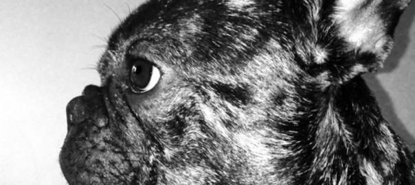 Fiche race, Le Bouledogue Français; Au poil dans mes pattes! Comportementaliste éducateur canin Rennes 35