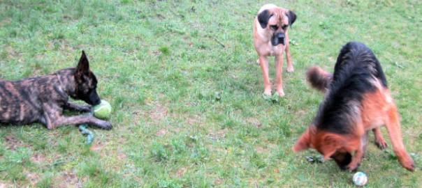 Berger Hollandais, Cane Corso et Berger Allemand, AU POIL DANS MES PATTES! éducateur comportementaliste canin sur Rennes, 35 ILLe et Vilaine