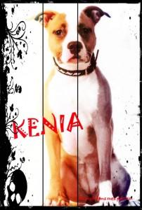 Kenia, American Staffordshire Terrier, Au poil dans mes pattes! Comportementaliste canin éducateur Rennes, ille et Vilaine, 35. Bruz, Noyal Chatillon sur Seiche, Pléan le grand, Redon, Maure de Bretagne, Pipriac....